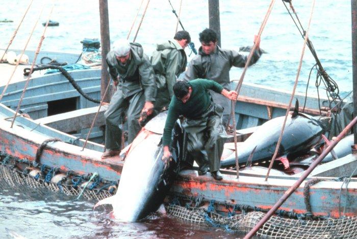 Big game fishing in croatia tuna hunting for Fishing for tuna